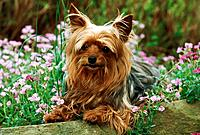 Yorkshire Terrier _ lying between flowers