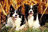 two Border Collies lying on meadow _ in front of cornfield