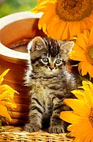 kitten _ sitting next to sun flowers