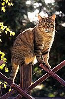 tabby domestic cat _ sitting on fence