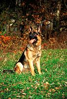 German Shepherd dog _ sitting on meadow