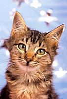 Maine Coon kitten _ portrait