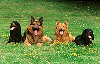two Gordon Setters , Old German Shepherd dog and Harz Fox on meadow