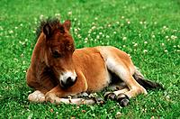 Shetlandpony _ foal lying on meadow