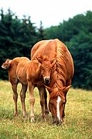 pony _ mare with foal on meadow