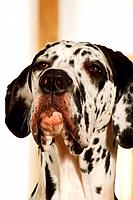 Great Dane _ portrait