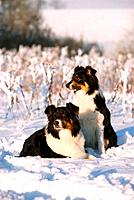 two Australian Shepherds in snow