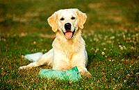 Golden Retriever _ lying on meadow