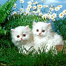 Persian cat _ two kittens sitting on meadow in front of flowers