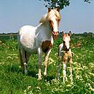 Welsh Mountain Pony _ mare with foal