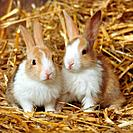 two dwarf rabbits in straw
