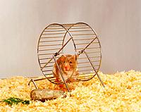 golden hamster in hamster wheel