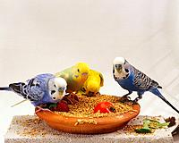 four budgerigars at feeding bowl / Melopsittacus undulatus