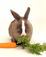 dwarf rabbit _ munching carrot