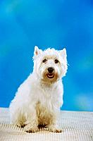 West Highland White Terrier _ cut out