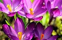 crocuses / Crocus