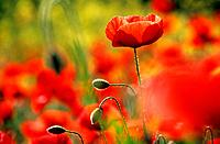 poppies / Papaver rhoeas