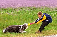 boy and Bearded Collie _ playing