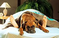 boxer _ lying between feet