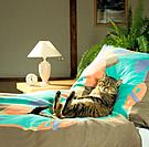 tabby domestic cat _ lying on bed