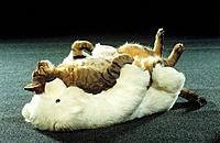 tabby domestic cat _ lying on soft toy