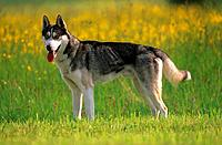 Siberian Husky _ standing on meadow