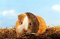 short haired guinea pig _ in straw