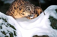 snow leopard _ in snow / Uncia uncia