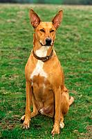 Ibizan Hound _ sitting on meadow