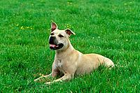 American Staffordshire Terrier _ lying on meadow