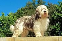 Polish Lowland Sheepdog _ standing