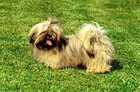 Lhasa Apso _ standing on meadow