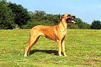 Great Dane _ standing on meadow