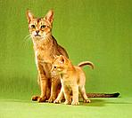 Abyssinian cat and kitten
