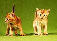 two young Abyssinian cats
