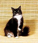 Maine Coon _ sitting
