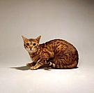 Bengal cat _ cut out