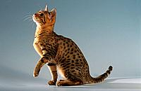 Bengal cat _ sittting _ cut out