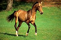 young Akhal_Teke on meadow