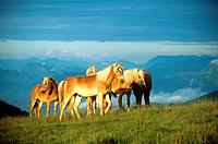 Five Haflinger on meadow (thumbnail)
