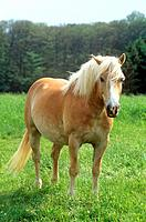 Haflinger - standing on meadow (thumbnail)