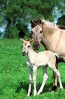 Konik with foal _ standing on meadow