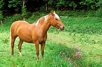 Finnhorse - standing on meadow (thumbnail)
