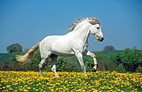 Andalusian horse on meadow