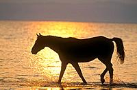 Austrian warmblood horse in water _ sunset
