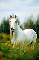 Andalusian horse _ standing on meadow