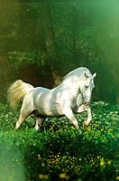 Lipizzan horse _ running on meadow