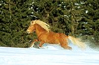 Icelandic horses - running in snow (thumbnail)