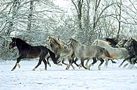 Kladruber _ herd in snow