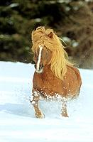 Icelandic horse _ running in snow